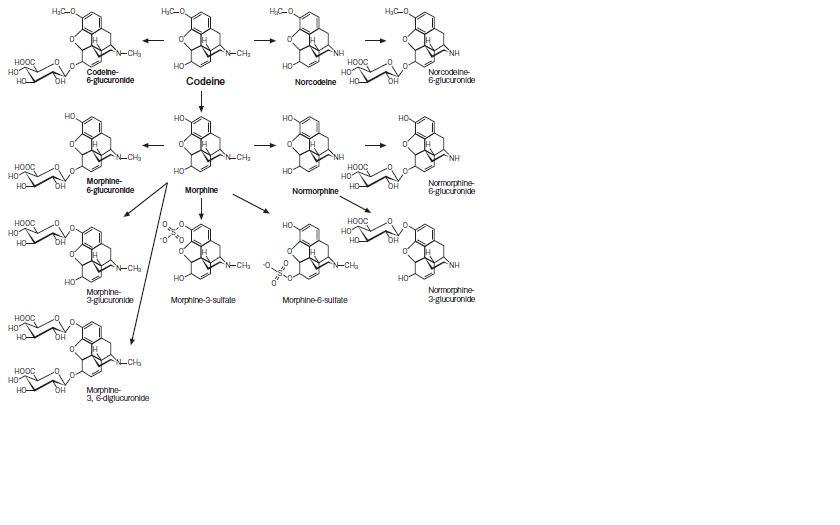 リン酸コデインの代謝: 薬剤師が...